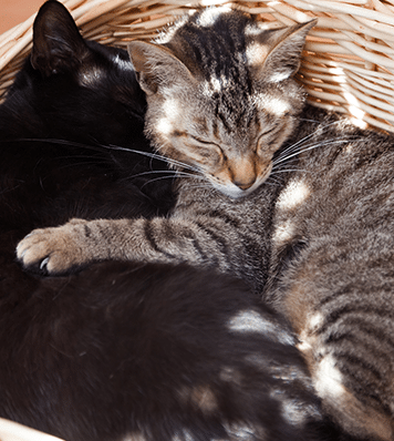 Two cats sleeping in basket: Spay and Neuter